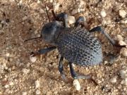 Beetle, Baja, Mexico