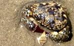 Crab, Baja, Mexico