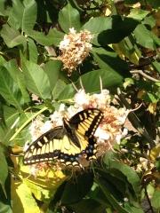 Butterfly, San Leandro, CA