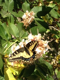 Butterfly, San Leandro, CA