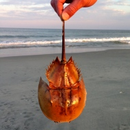 Horseshoe Crab, Chincoteague Island, VA
